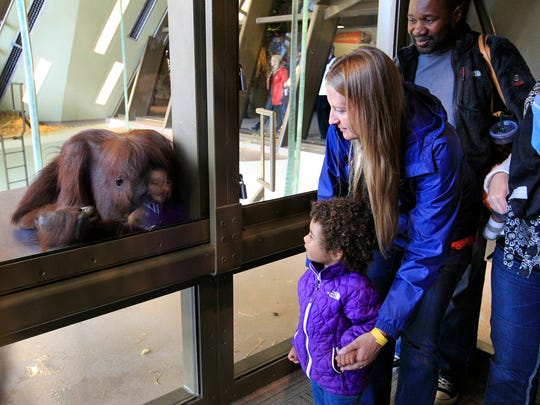 Visitors to the Indianapolis Zoo get a close-up look through a window at one of the orangutans at the Simon Skjodt International Orangutan Center.