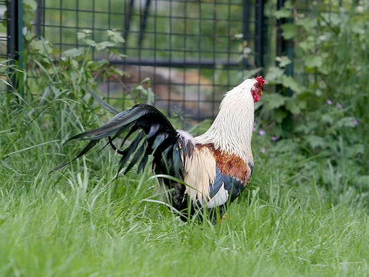 Bitsey the rooster, who avoided capture for a year in South Kitsap.