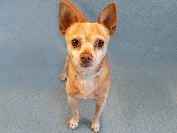 Meet Rolly, 8 years old, a tinyChihuahua who arrived