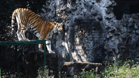 A royal Bengal tiger in Kolkata, India, on Jan. 28,