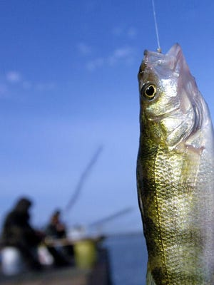 Perch are being caught off the North and South Piers on Presque Isle Bay.