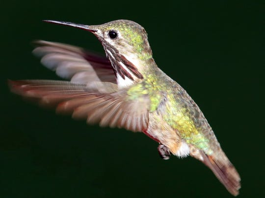 A Calliope hummingbird male measures not quite 3 1/4 inches in length.