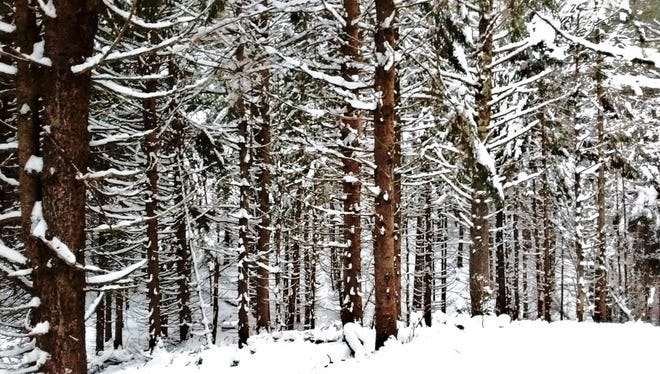 A forest of Norway spruce lines the North End Ski Trail near Cable, WI