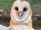 Staff at the Ojai Raptor Center knew a barn owl injured