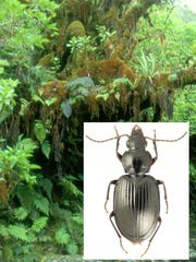 A moss covered ohia tree in Maui rainforest with a Mecyclothorax rex beetle inset. These beetles often live and feed within moss mats on trees, thereby escaping the extensive rainfall that floods Haleakala's windward slopes.