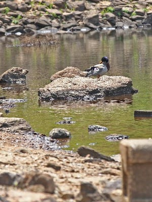 A duck stands on a rock  that is normally underwater near the dam on Broadway Lake in this file photo from April.
