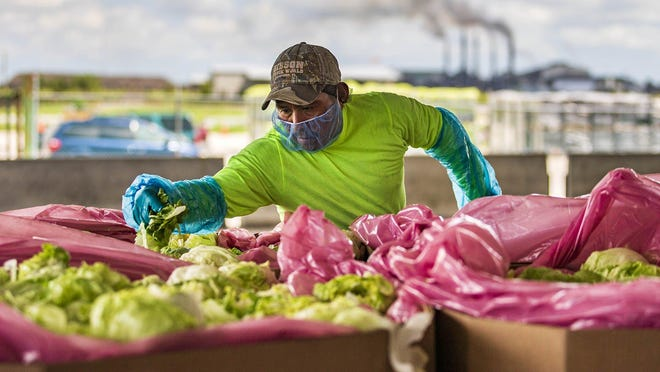 A worker at TKM Bengard Farms culls heads of iceberg lettuce cored in the field before it is chilled, chopped and blended for packaging in Belle Glade, Tuesday, March 24, 2020.