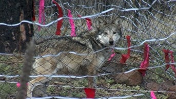 A pregnant Mexican wolf has been released into the wild with her mate in an effort to grow the population, according to the U.S. Fish and Wildlife Service and the Arizona Department of Game and Fish.