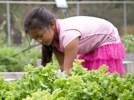 Jasmine Velazquez, 7, picks lettuce at the Westside Orchard Garden for her lunch. Kids from the Community Rec Center and the Boys and Girls Club picked and ate foods grown in the garden on Tuesday.