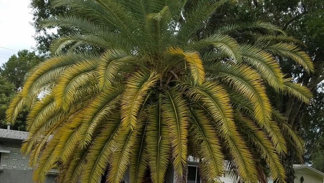 This Canary Island date palm has a magnesium deficiency. You can tell by the yellowing palm fronds. Pro tip: Only remove fronds that are completely brown.