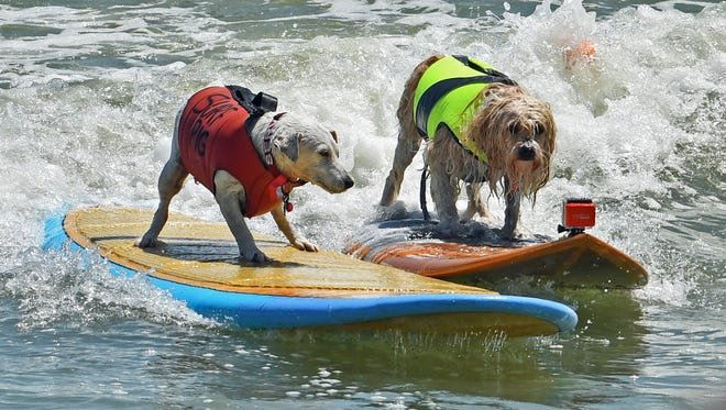 Surf conditions will be in the knee to thing high range most of the weekend. For these dogs, the surf won't be ruff.