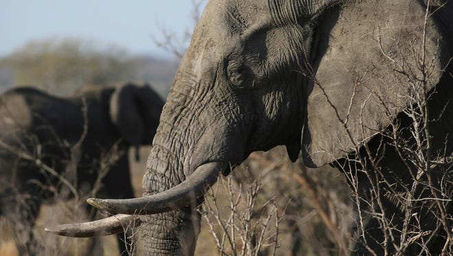 An elephant walks through the bush at the Southern African Wildlife College on the edge of Kruger National Park in South Africa.