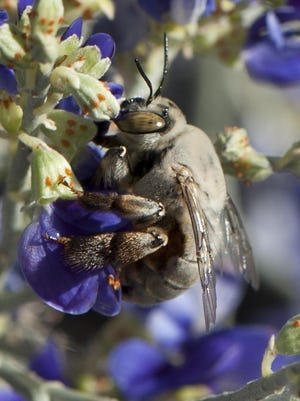 Pallid bees, often called digger bees, are attracted to Smoke Tree Blossoms.