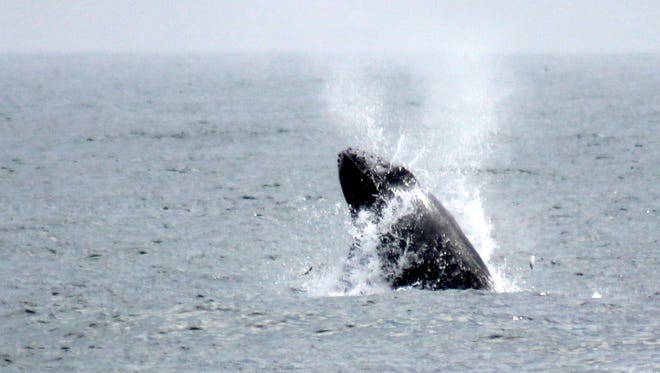 A whale - which onlookers said was a humpback - is seen feeding on baitfish 200 yards off Pt. Pleasant Beach on April 26.