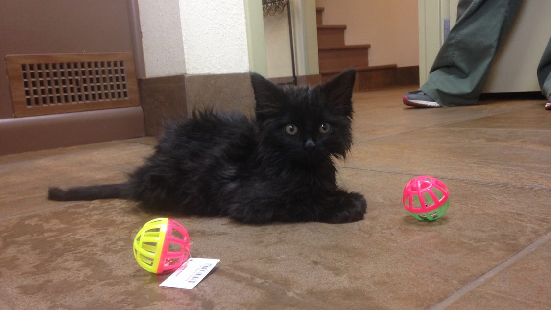 egyptian mau kittens for adoption