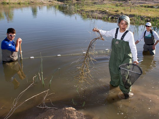 Felicity Lopez, foreground, clears some brush while NMSU students Tyler Wallin, L, and Lauren Flynn use a seining net to gather aquatic life at the La Mancha Wetlands Saturday morning. 4/15/17