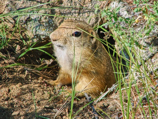 The gopher gets out of a hole - photo 3