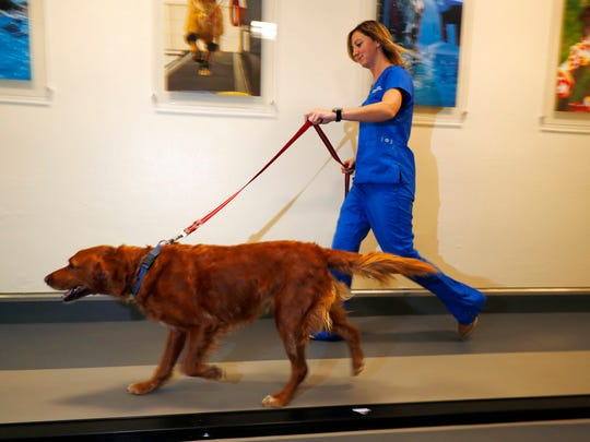 In this Monday, Nov. 6, 2017, photo, research technician Kelsie Condon walks a Golden Retriever named Zach on a treadmill to determine if the dog has arthritis and can be enrolled in a study involving the use of CBD oil at Colorado State University in Fort Collins, Colo. Two researchers at the school are running trial studies to see if using marijuana extract aids in the treatment of dogs with epilepsy as well as arthritis.