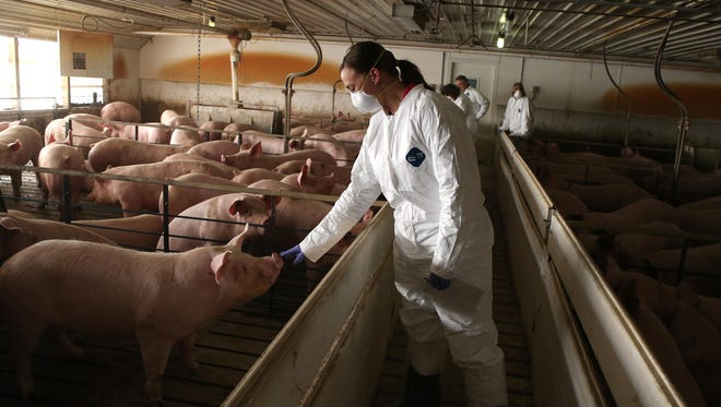 Emily Erickson, a manager at New Fashion Pork, tends to hogs at a confinement facility in Ayrshire, Iowa, on Friday, Feb. 6, 2015.