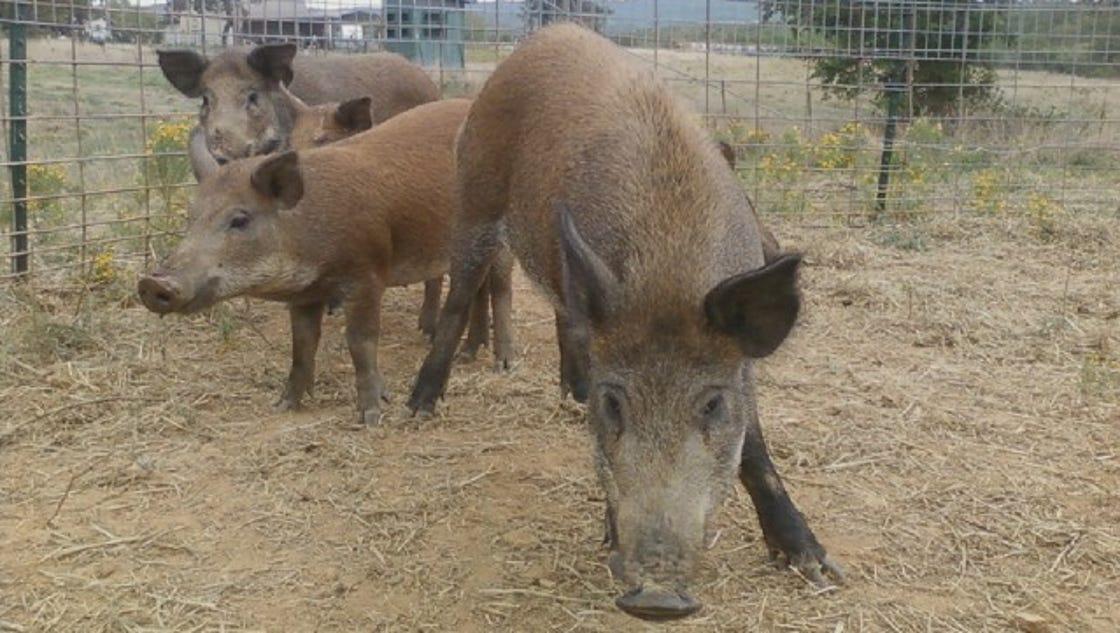 R Hogs How many killed...