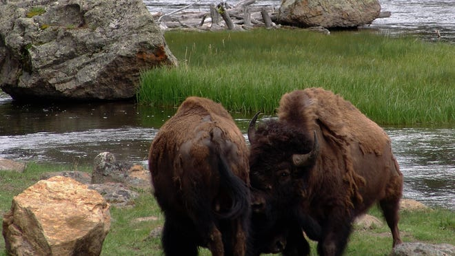 Two bison butt heads along the Madision River in Yellowstone National Park.