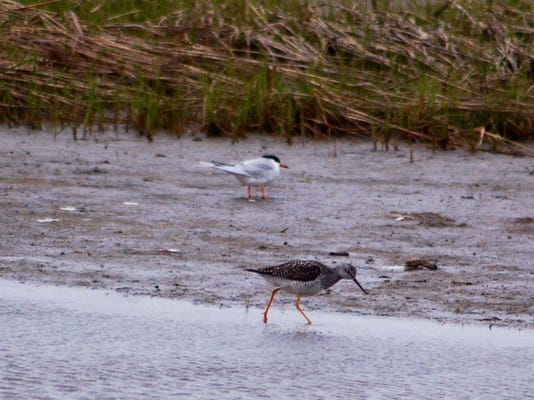 tern and wading bird