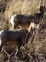Bighorn sheep graze near Lava Creek in Yellowstone National Park. Radio collars like the one pictured help track animal migrations.