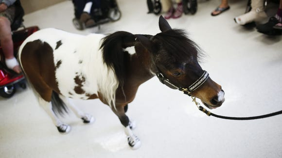 Veterans interact with Rocky — a trained therapy mini horse at the VA Hospital in Phoenix.