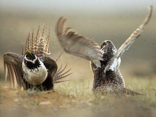 In this May 9, 2008, file photo, a male sage grouse fights for the attention of a female southwest of Rawlins, Wyo. Contrary to Interior's contentions, ending human activity on public lands is not going to save the sage grouse.