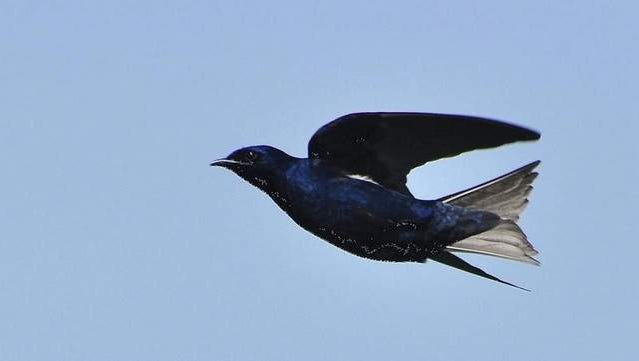 European starlings and habitat loss are the main suspected culprits in the decline of the once-thriving purple martin in the Willamette Valley.