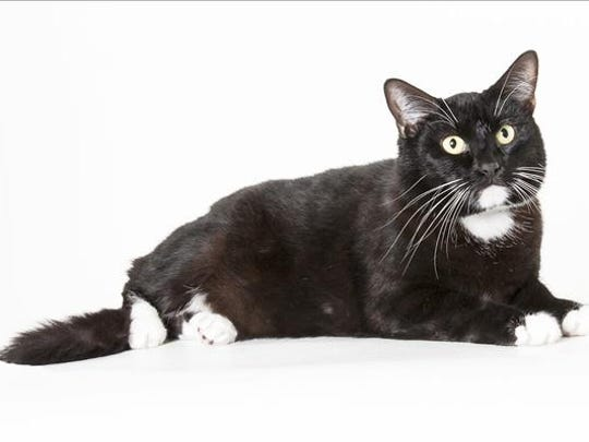 Jujubee, 1-year-old male domestic short hair cat. No. 82030.