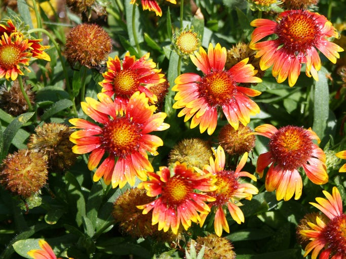 Commonly called blanket flower or Indian blanket, the showy, bicolor daisy-like flowers of the Mesa bicolor gaillardia are golden yellow with a deep red center and can cover the plants when they are in full bloom.