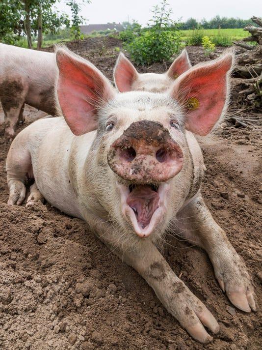 Laughing Pig on Farm