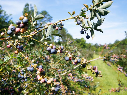 The blueberries grown at Blueberry Springs are a species of rabbiteye blueberries, which are commonly found in the southeastern United States.