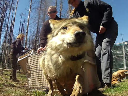 female wolf release