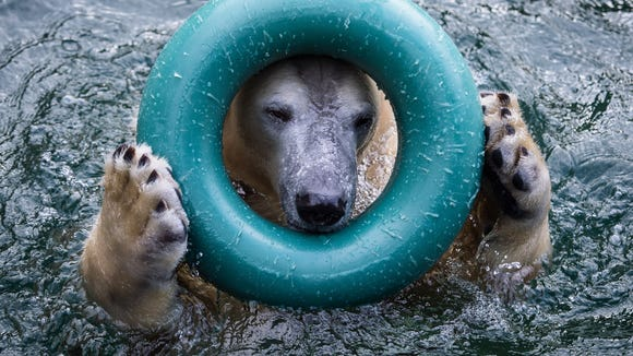 Polar Bear Anori enjoys the temperatures around the freezing point while playing at the outdoor enclosure pool at the Wuppertal Zoo in Wuppertal, Germany, on Thursday Feb. 5,2015.(AP Photo/dpa/Maja Hitij)