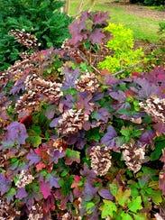 Oakleaf hydrangeas offer a bonus of colorful autumn
