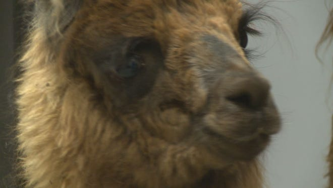 6-month-old Mirbella the llama got a blood transfusion, thanks to her mother's donation.