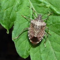 They're back: What to know about stink bugs