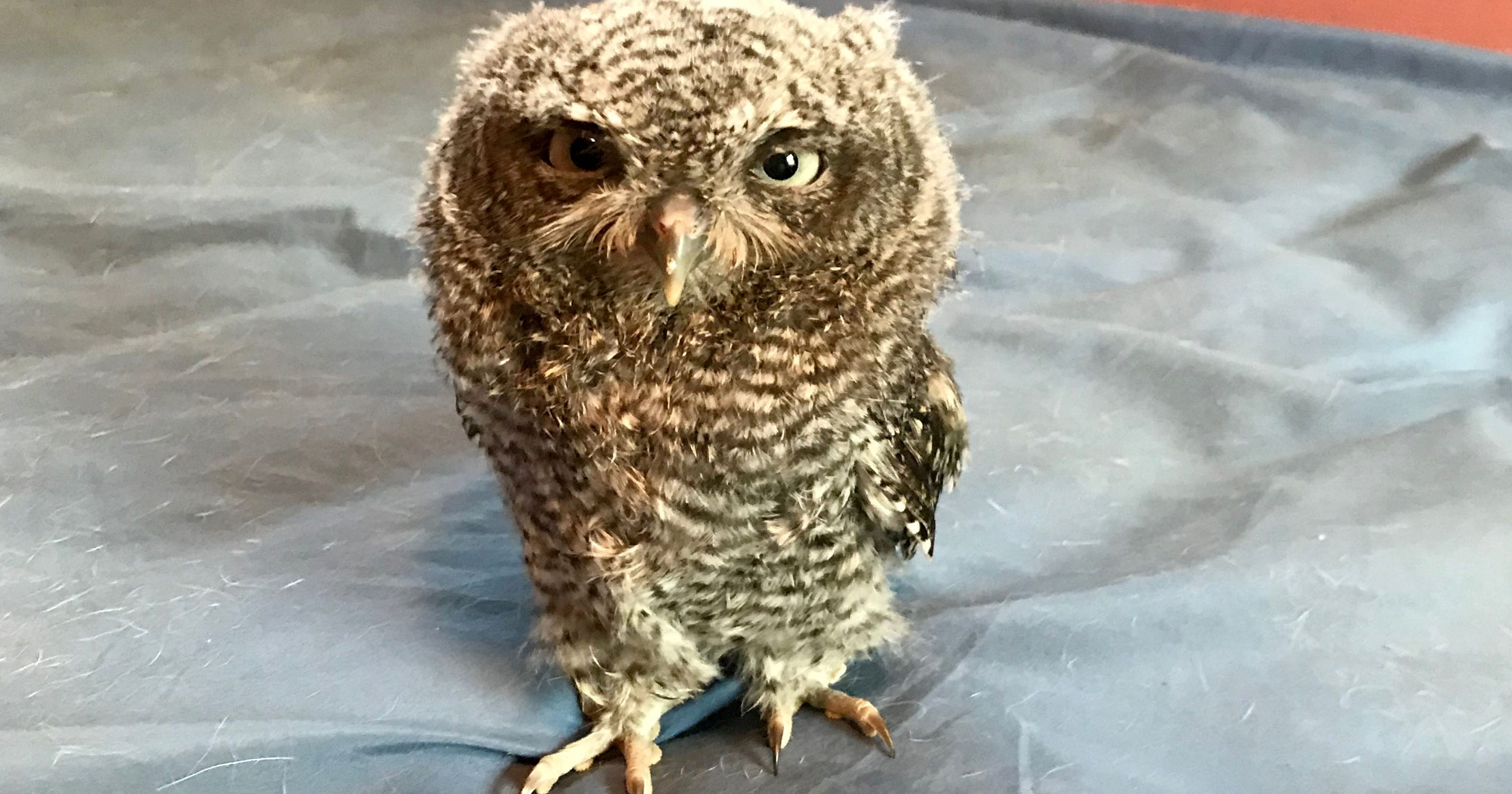 This tiny owlet appeared in a Ferndale home