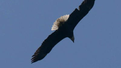 A Bald Eagle at the Red River National Wildlife Refuge in Bossier City.
