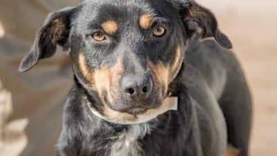 Chocolate Cocoa is a 2-year-old Shepherd mix up for adoption at Nashville Humane Association.