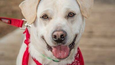 Snow White is a 3-year-old Lab mix.