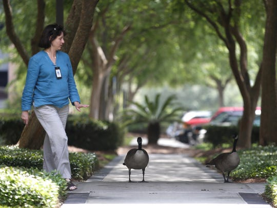 Karen Carlile walks by a pair of Canada geese outside the Capital Circle Office Complex in SouthWood.