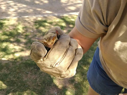 """Rink Somerday of the Asombro Institute for Science Education and Chihuahuan Desert Nature Park wears gloves to show a small bat to visitors. She advises calling animal control if you find a bat on the ground. """"It's a sign that there's something wrong. Never touch it. """""""