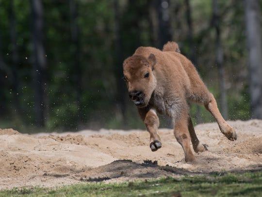 A juvenile American bison (Bison bison) runs through