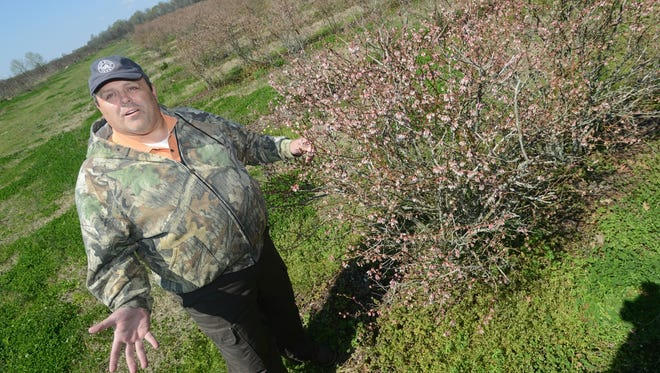 Farmer Max Draughn talks about the effect a late frost may have on his blooming blueberry bushes at his 2.5-acre, you-pick plot in Raymond.  Draughn says he plans to use helicopters to circulate warm air across his 60-acre commercial operation in Covington County, but the expense could not be justified for the smaller plot.