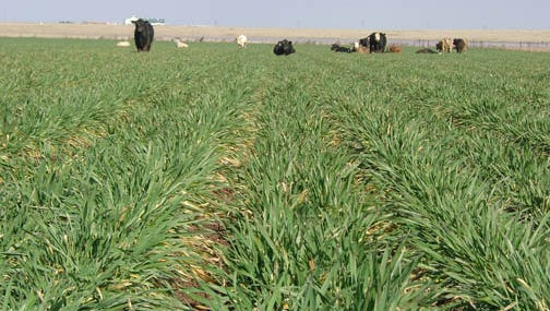 A winter-wheat field in the Panhandle. Low prices and poor weather have led to a decrease in planted wheat acres statewide, according to a Texas A&M AgriLife Extension Service economist.