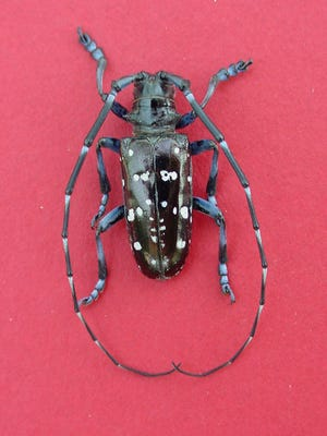 The state Department of Environmental Conservation is asking owners of pools to keep an eye out for the invasive Asian long-horned beetle.