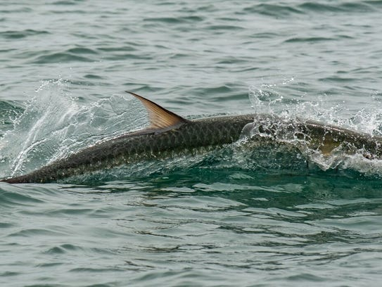 A tarpon surfaces during the 'Ding' Darling and Doc